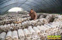 宁夏彭阳:大棚蘑菇种植成农民脱贫致富好项目