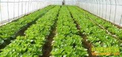 内蒙古呼和浩特陈俊英大棚种蔬菜年赚20多万元