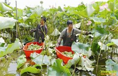 江西南昌:太空莲可观赏 种植太空莲前景好