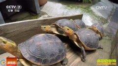 [科技苑]看广州养龟神人出奇招养殖黄缘闭壳龟