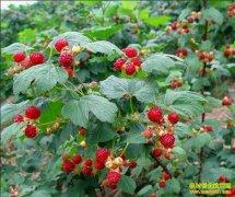黑龙江佳木斯:种植红树莓好赚钱每亩利润5000元