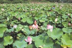 四川内江:莲藕种植效益好成农民致富好项目