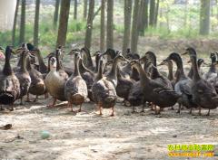 广西灌阳县文齐富鱼塘养野鸭致富有高招