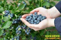 吉林蛟河市前进乡种植蓝莓成农民致富好项目