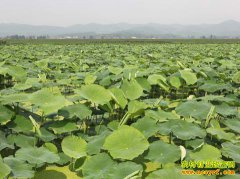 四川井研县石马村种植莲藕每亩收益三四千元