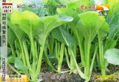 受灾农田种植什么好:快生菜生长周期短效益好