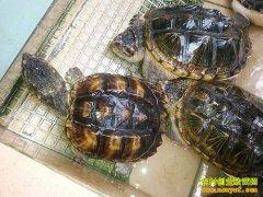 广西贺州:佛鄂龟养殖成农民致富新门路