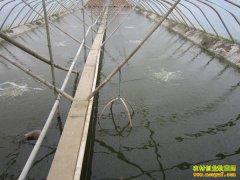 浙江宁海:大棚养殖对虾 亩产对虾七八千斤