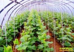 安徽明光蒋道杭水肥一体种大棚蔬菜每亩收入1.5万元