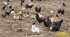拉萨藏鸡一只可卖200元 养殖藏鸡成农民致富好项目