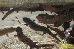 河南济源:养殖娃娃鱼成农民致富好项目