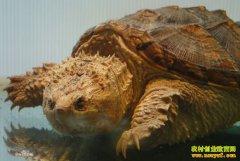 广西贺州:养殖佛鳄龟成养殖致富新门路