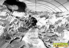 重庆黔江:池膜莲藕种植成农民致富好项目