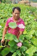 山东鱼台张志龙的莲藕种植致富经