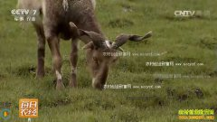 [每日农经]养殖西藏阿旺绵羊带来的财富