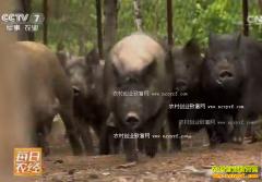 [每日农经]养在深山的特种野猪好赚钱
