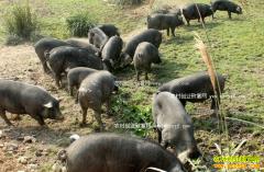安徽金寨宋永堂深山养黑猪 一头猪赚4000元