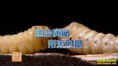 [每日农经]一条虫能换一斗米 养殖斗米虫好致富
