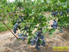 黑龙江阿木尔:蓝莓种植成农民致富好项目