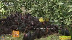 [农广天地]柚子园里的秘密―鸡蚓果草循环农业模式