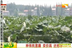 致富好榜样:鸭粪种植有机莲藕 莲藕卖价高