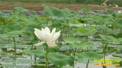 重庆黔江冯大术浅池膜种莲藕每亩效益1.2万元