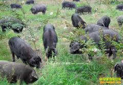 安徽太湖大学生刘强返乡养殖土黑猪年赚百万元
