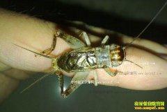 山东汶上:蟋蟀唱响农民致富曲 抓蟋蟀一年赚3万
