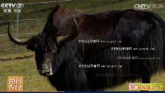 """[每日农经]青海玉树:""""抢亲""""的牦牛多卖钱"""