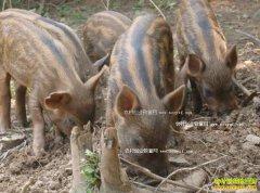 重庆铜梁安陆海辞职养殖野猪年赚50万元