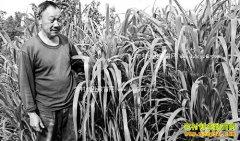 重庆丰都许华富种皇竹草养牛效益高年赚20万