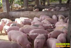2017年生猪价格行情预测:明年猪价格可达12元/斤