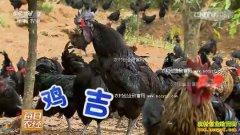 [每日农经]好斗的乌骨鸡不一般 养殖乌鸡好赚钱