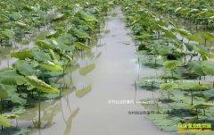 湖北天门:玉米地改种浅水莲藕亩效益过万元