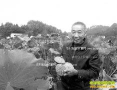 重庆南川田德安种植莲子新品种巴莲效益高