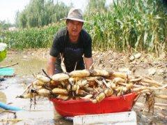 山东蒙阴:旱地种藕亩收入1万多元