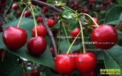 车厘子和樱桃有什么区别?