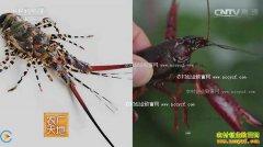 [农广天地]养虾有稻 稻田养殖小龙虾技术视频
