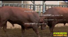 [每日农经]宁夏永宁无角的红安格斯牛更畅销