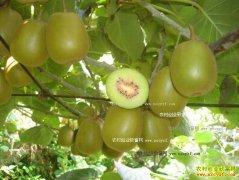 [每日农经]四川青川靠心走红的猕猴桃种植效益好