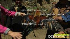 [致富经]高原飞鸡的隐秘商机:北京孟稣西藏养藏鸡致富
