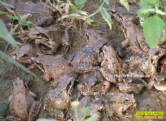 [每日农经]林蛙养殖前景如何 林蛙引来的财富