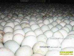 鹅蛋多少钱一个?2017年1月10日最新鹅蛋价格行情
