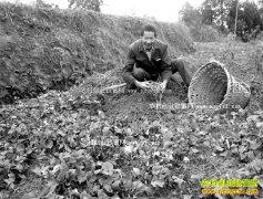 重庆南川:侧耳根7元一斤 种植侧耳根成农民致富好项目
