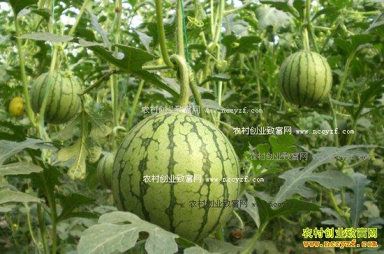 2017年农村种植什么不愁销路-种植地膜西瓜
