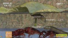 [每日农经]荷塘叶下 泥鳅爱上小龙虾