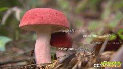 [绿色时空]四川宜宾林下种植赤菇亩产3000斤