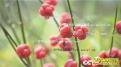 [绿色时空]内蒙古手李凤树沙地种植麻黄效益高