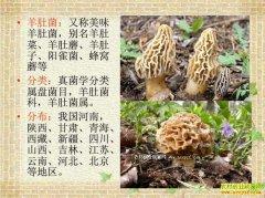 陕西榆林马合农场人工栽培羊肚菌获成功