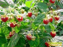 河北迁安:种植红树莓成隔滦河村农村致富好项目